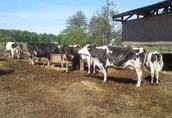 Sprzedam krowy mleczne, Certyfikat wolne od GMO