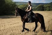 Wspaniała klacz fryzyjska czarny koń 6 lat