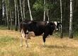 Krowy Krowa cielna z szóstym cielakiem