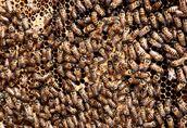Pozostałe pszczelarstwo Matki Pszczele Buckfast/Elgon o wybitnych cechach...