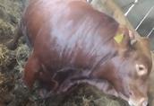 Byki na ubój Sprzedam opasy 8 sztuk ładnej budowy ok 800 kg...
