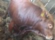 Byki na ubój Sprzedam opasy 8 sztuk ładnej budowy