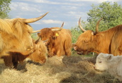 Highland szkockie byki