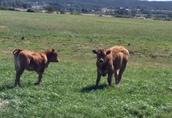 Sprzedam jałówki Limousin
