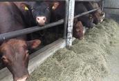 Byki było mięsne na ubój z wolnego chowu