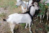 Kozy mleczne sprzedam