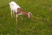 Sprzedam kozy stado