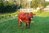 Krowa czerwona wysokocielna, (termin początek września)