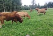 Stado krów mięsnych LM, krowy mamki, jalowki, byczki