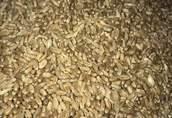 pszenica i jęczmień