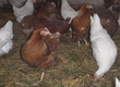 Kury nioski W sprzedaży młode kury nioski od
