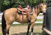 Piękny wałach z ćwiartki konia Wiązek gotowy do nowego domu