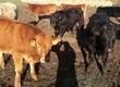 Cielaki i opasy sprzedam odadki lm byczki i ja