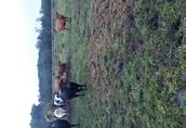 Byczki I jalowki odsatki