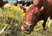 Korektor białkowo energetyczny NON GMO Krowa mleczna