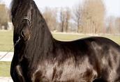 Fryzyjska klacz, czarna 5-letnia, dobrze wyszkolona bezpieczna