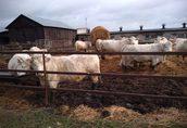 Bydło mięsne Charolaise całe stado (30 sztuk)