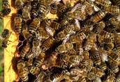Matki pszczele po wiosennym oblocie