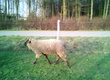 Owce Mam do sprzedania: 2 owce + baran