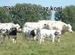 Byki na ubój Jesteśmy firmą z Małopolski