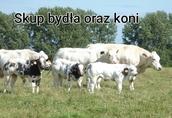 Skup bydła rzeźnego, zywca, koni Małopolskie, PODKARPACKIE
