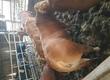 Byki na ubój Sprzedam 10 byków czystej rasy