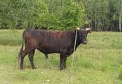 Sprzedam byka rozpłodowego MS.