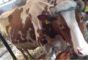 Krowa, mleczna krowa, cielna, spokojna