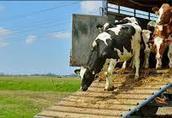 Transport zwierząt żywca bydła cieląt trzody tuczników