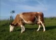 Krowy Sprzedam krowę 11 lat. 4 miesi