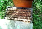 Odkłady pszczele ramka wielkopolska lub warszawska poszerzona