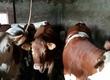 Byki na ubój Sprzedam 8 szt. byków i 10 ja