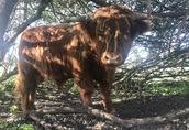 Byk rasy Highland Cattle/Bydlo szkockie