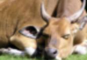 Ukraina.Krowy, bydlo opasowe 700 zl/szt.Mleko 4% cena 0, 50 zl