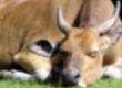 Krowy Ukraina. Krowy, bydlo opasowe 700