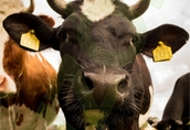 Skup bydła : krowy rzeżne wyskoa cena