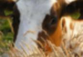 Ukraina. Krowy, bydlo opasowe 700 zl/szt. Mleko 4% cena 0, 50