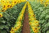 Olej rzepakowy 2, 3 zl/L+nasiona, sloma, biomasa, tluszcze roslinne