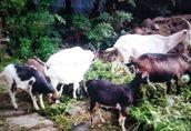 Sprzedam kozy