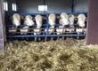 Pozostałe zwierzęta hodowlane Sprzedam Jałowice cielne rasy hereford