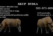 skup bydła*krowy*byki*jałówki