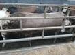 Byki na ubój Bydło U i R 20 sztuk