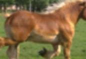Ukraina. Ciezkie konie wlodzimierskie o duzej masie ciala w cenie