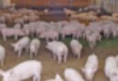 Ukraina.Skup zywca 6 zl/kg, prosieta 120 zl/szt, chow tucznikow