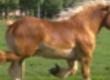 Klacze Ukraina. Ciezkie konie wlodzimierskie