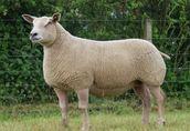 Kupię: Owce, baranki, w dużych ilościach