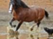 Wałachy Ukraina. Ciezkie konie wlodzimierskie