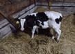 Cielaki i opasy Sprzedam byczka do dalszego chowu