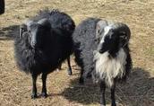 Tryki barany jagnięta - owce rasy SKUDDE