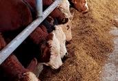 Byki byczki cielaki mięsne do dalszej hodowli